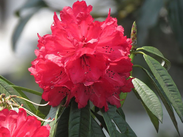 Rhododendron Nepal