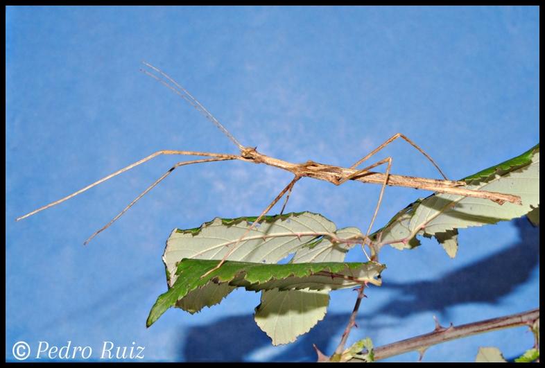 Macho adulto de Onchestus rentzi, 8 cm de longitud