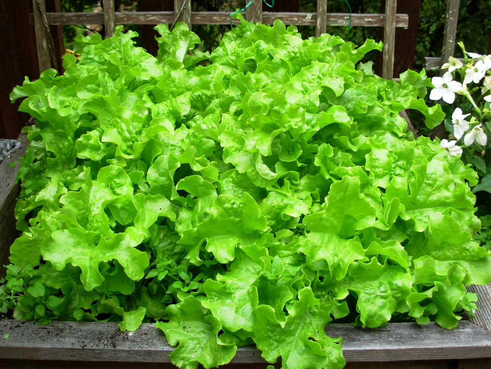 HOW TO GROW LETTUCE OUTSIDE |The Garden of Eaden