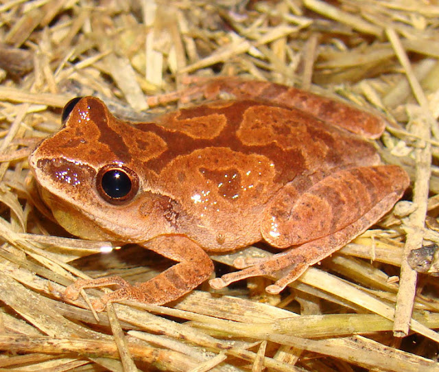 Climate change not main driver of amphibian decline