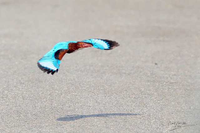 White-throated Kingfisher fly low to avoid a military radar