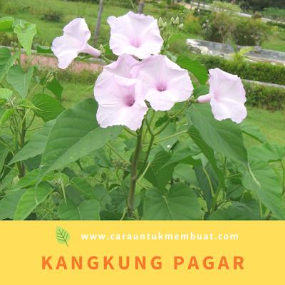 Kangkung Pagar