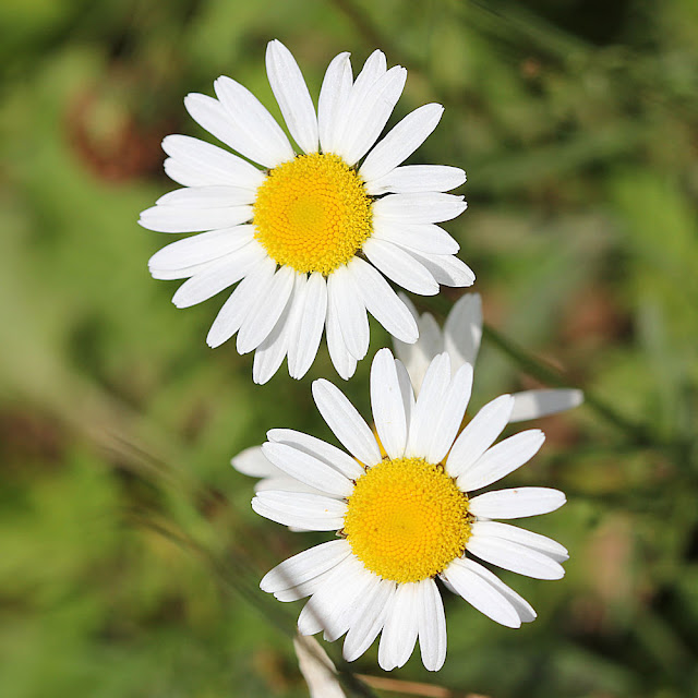 Ox-Eye Daisy Photo by Denise