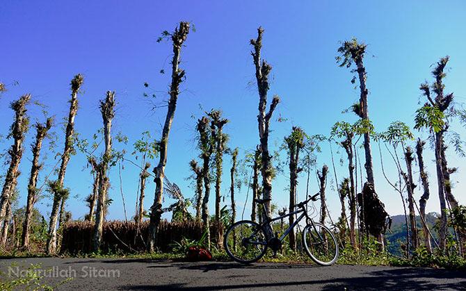 Pohon Kayu Putih di jalan arah ke Mangunan dari Bukit Hijau BNI
