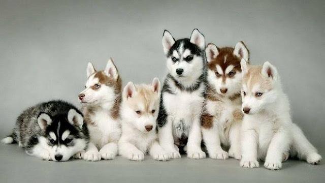 Ciri Ciri Anjing Siberian Husky