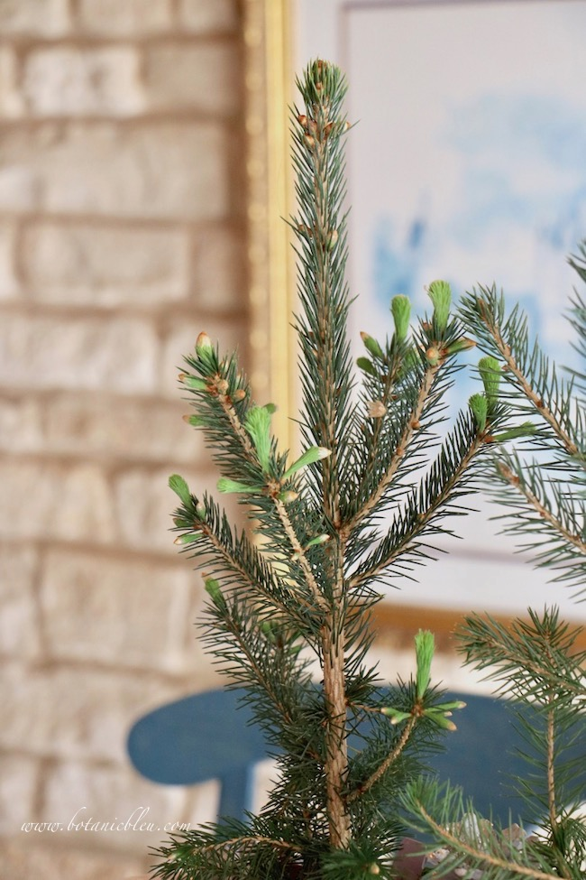 Christmas to winter decor with live spruce seedlings sprouting new growth