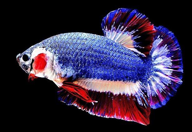 Ikan+Laga+Mahal