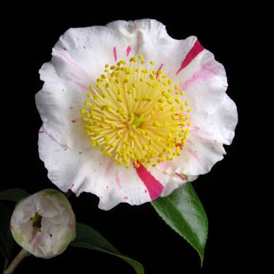 Hoa trà 02
