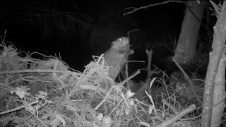 Beaver working on dam