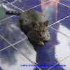 Ciri Khusus Hewan Kucing dan Fungsinya