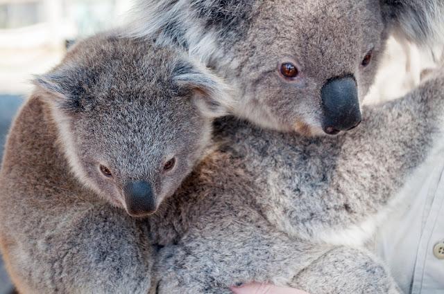 Menghirup Aroma Minyak Eucalyptus maupun Minyak Kayu Putih dapat Cegah Infeksi akibat Virus Corona