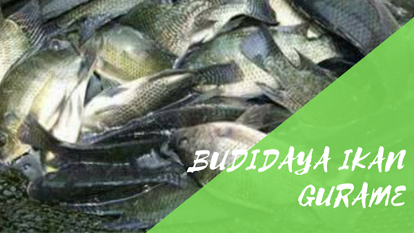 Perawatan Dalam Budidaya Ikan Gurame