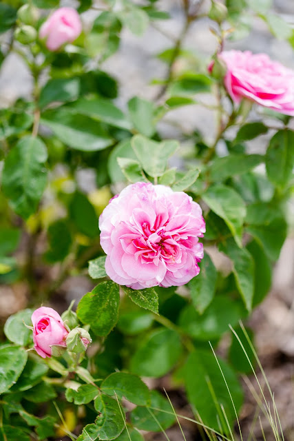 Gartenglück Ende Mai, Pomponetti, Gertrude Jekyll