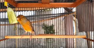 Burung Kenari Gacor Bagus