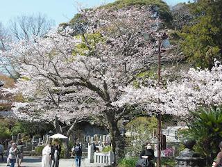 妙本寺のソメイヨシノ