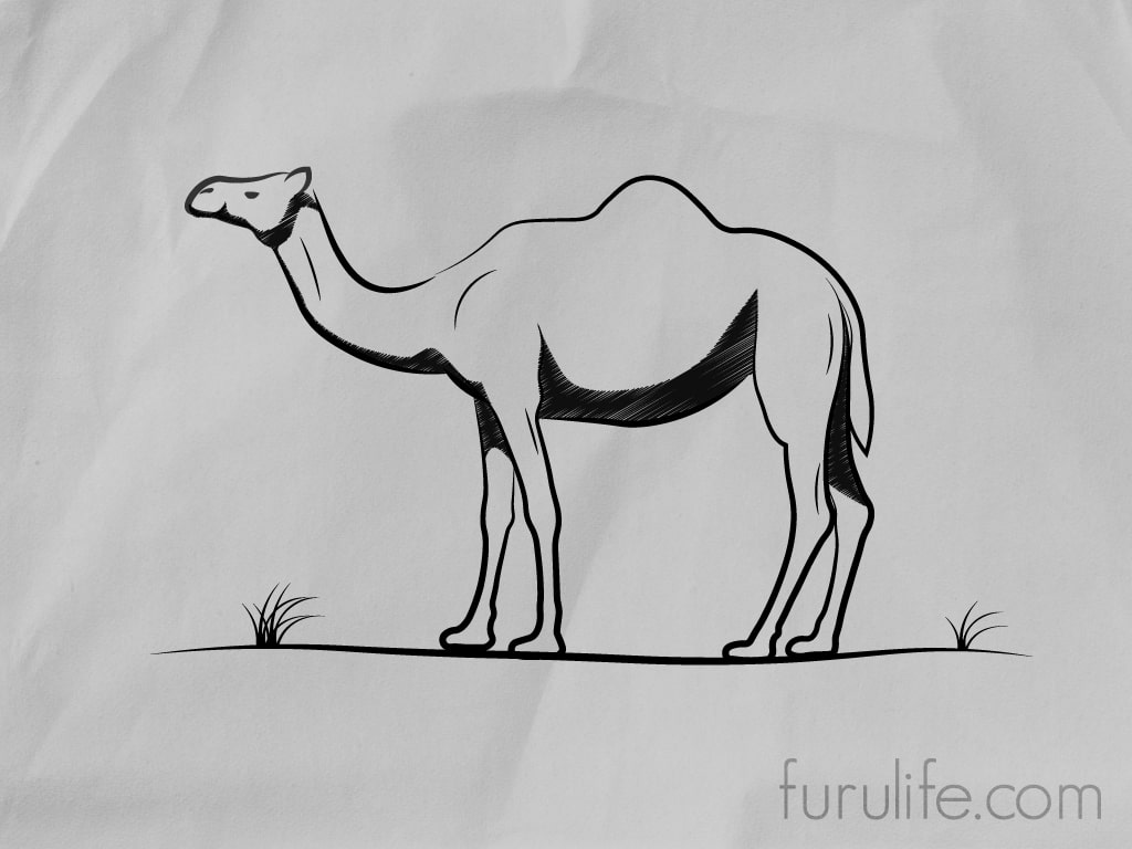 How to draw Camel - Step 8 Finale Result