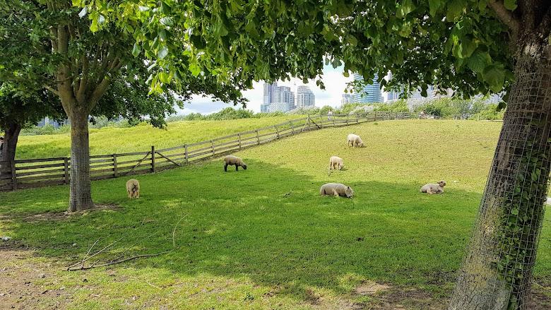 市區農場看看綿羊