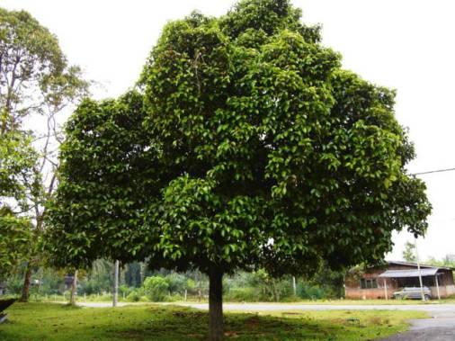khasiat dan manfaat buah manggis mengobati berbagai jenis penyakit
