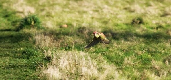 wildlife encounter of baby weasel riding a woodpecker captured in East london's Hornchurch Country Park via geniushowto.blogspot.com rare wildlife encounter photos and videos