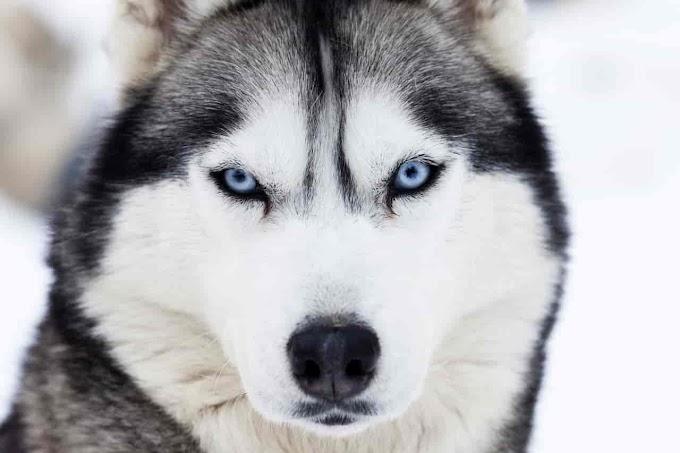 [2020] Utonagan Dog Breeds | Utonagan Puppies Breeders in USA