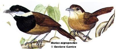 aves de Misiones Batará pecho negro Biatas nigropectus