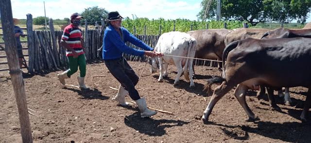 Prefeitura de Caraúbas presta assistência médica veterinária para rebanho de produtores rurais