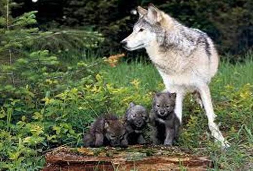 lobo macho