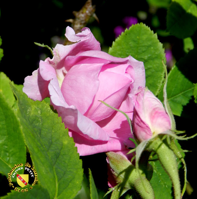 VILLERS-LES-NANCY (54) - La roseraie du Jardin botanique du Montet - Rosa damascena bifera