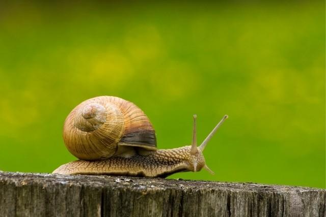 Snail-eggs-how-do-snails-lay-eggs