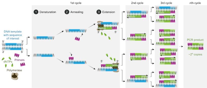 জীবপ্রযুক্তি: Polymerase Chain Reaction (PCR)