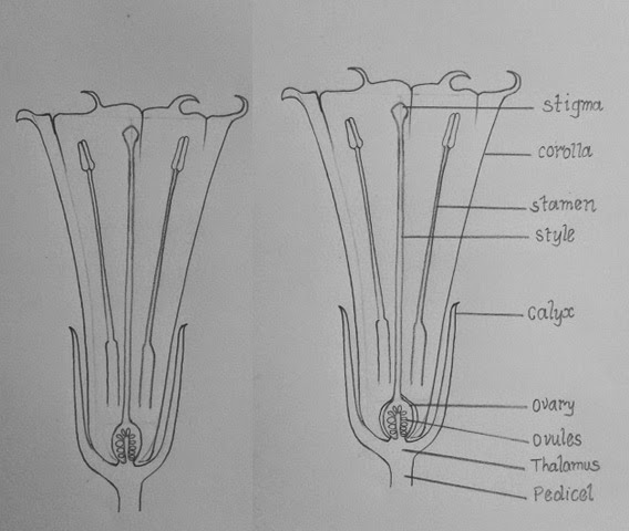 DRAW IT NEAT : How to draw LS of Datura flower