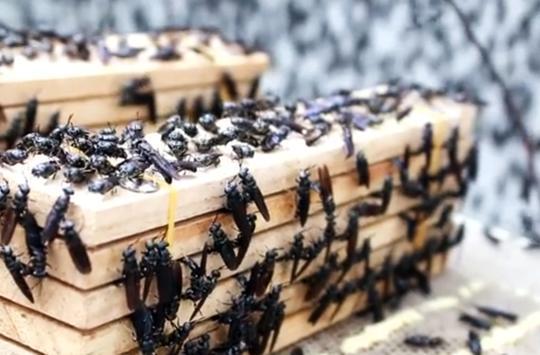 Pengurangan Sampah Organik di Jakarta Melalui Biokonversi Black Soldier Fly