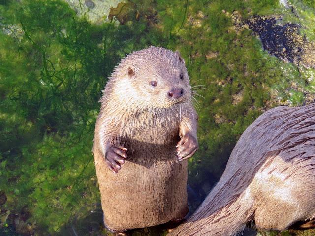 Things to do in Alesund: Otter at Atlanterhavsparken