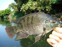 Cara Memelihara Ikan Nila Untuk Tabungan Protein Hewani