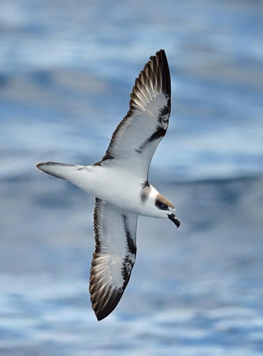 petrel cuello blanco Pterodroma cervicalis