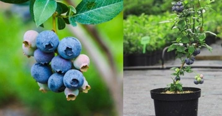 How To Grow Buckets Full Of Blueberries In Containers