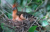 Adulto incubando en su nido
