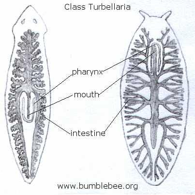 Platyhelminthes Class Turbellaria