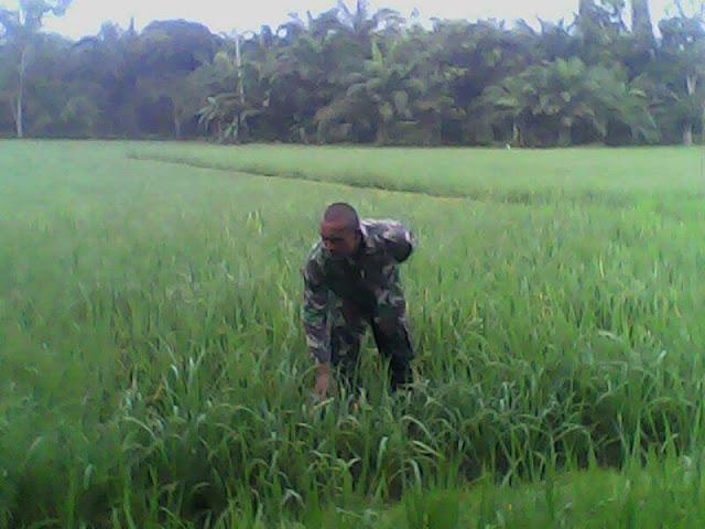 Dalam Rangka Perawatan Tanam, Koramil 04/Talawi Dampingi Petani Lakukan Penyiangan