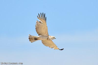 Jove d'àguila marcenca