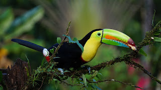About Toucans bird. कील बिल टुकान। सुंदर पक्षी।