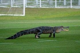 Toronto soccer team's Florida practice interrupted by 'massive alligator|interesting news|