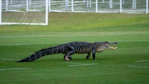 Toronto soccer team's Florida practice interrupted by 'massive alligator interesting news 