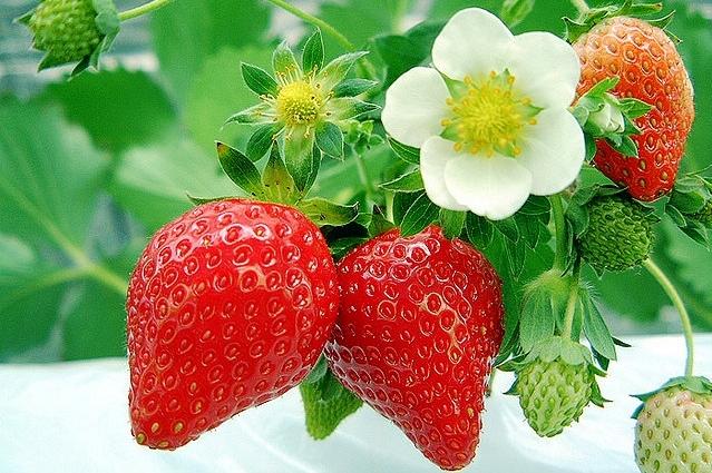Khasiat Buah Stroberry Untuk Obati Berbagai Macam Penyakit