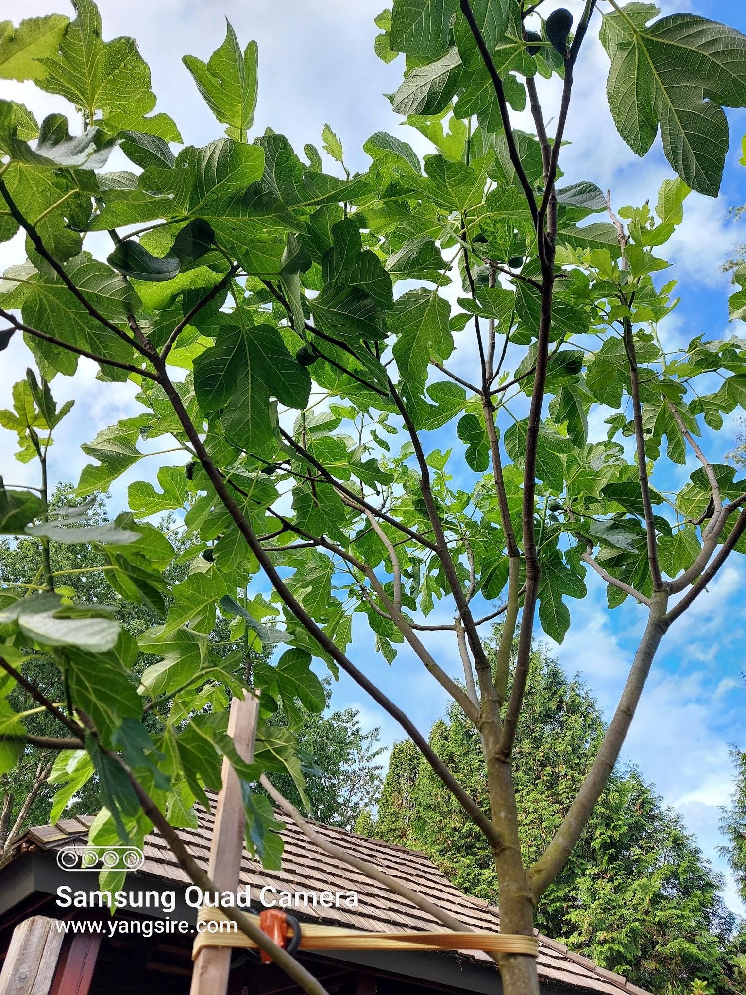 Healthy fig tree