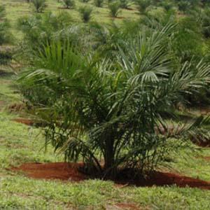 bisnis perkebunan kelapa sawit