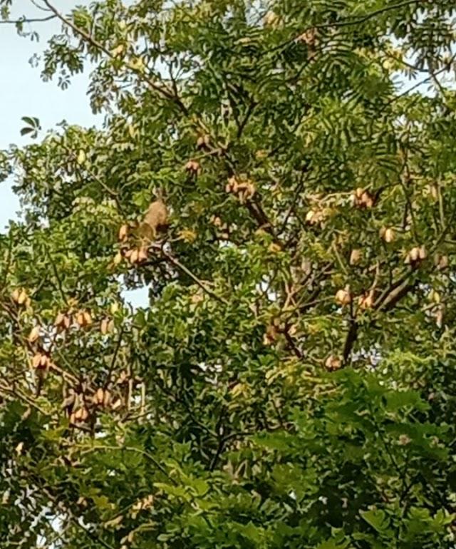 Keberadaan Nyaris Punah, Wisata Kawung Tilu Jadi Lokasi Berkembang Biak Burung Manyar