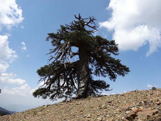Το αρχαιότερο δέντρο της Ευρώπης βρίσκεται στην Ελλάδα