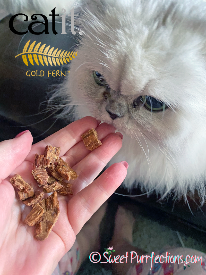 silver shaded Persian cat, eating Catit Gold Fern from person's hand