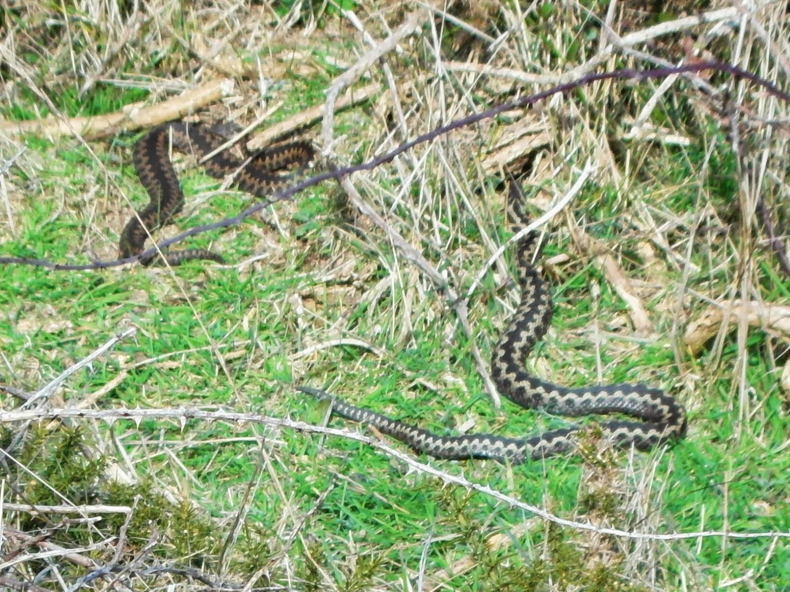How to Spot an Adder in Suffolk (Minsmere)